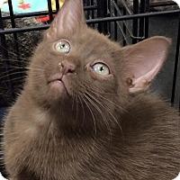 Adopt A Pet :: KitKat - Harrisburg, NC