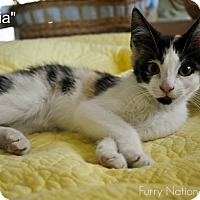 Adopt A Pet :: VICTORIA - New Smyrna Beach, FL