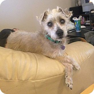 Miniature Schnauzer Mix Dog for adoption in Edmonton, Alberta - Jamba Juice
