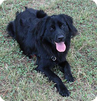 Border Collie/Australian Shepherd Mix Dog for adoption in Houston, Texas - Drew