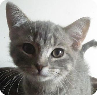 Domestic Shorthair Cat for adoption in Greenville, Illinois - Christie