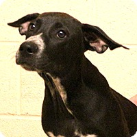 Adopt A Pet :: Dodger~meet me~ - Glastonbury, CT