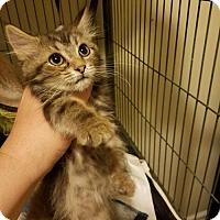 Domestic Shorthair Kitten for adoption in Evansville, Indiana - Maggie