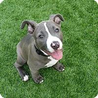 Adopt A Pet :: Hippo - Las Vegas, NV