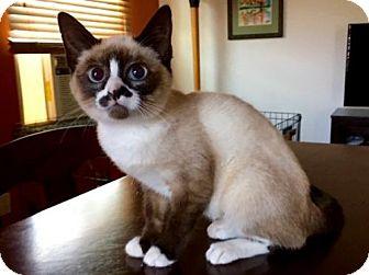 Siamese Cat for adoption in Long Beach, California - Avalon