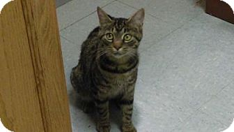 Domestic Shorthair Cat for adoption in Parma, Ohio - Starry