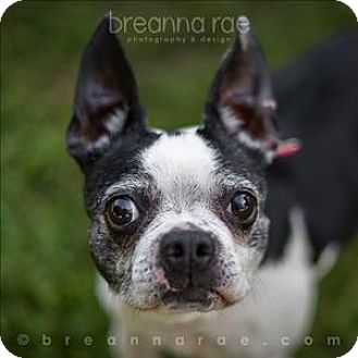 Boston Terrier Mix Dog for adoption in Sheboygan, Wisconsin - Baby