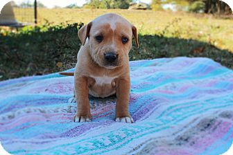 Labrador Retriever/Hound (Unknown Type) Mix Puppy for adoption in Seneca, South Carolina - Elsa $250