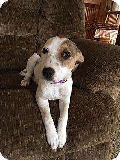 Pointer Mix Puppy for adoption in DeForest, Wisconsin - Saula