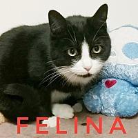 Adopt A Pet :: Felina - Kendallville, IN