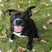 American Pit Bull Terrier/American Staffordshire Terrier Mix Dog for adoption in Lowell, Indiana - Atticus