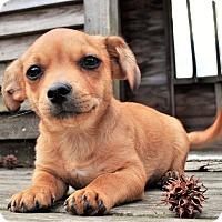 Adopt A Pet :: Ducky - Westport, CT