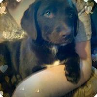 Adopt A Pet :: Roxy - Aurora, CO