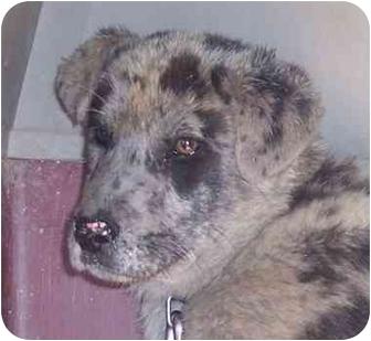 Australian Shepherd/Catahoula Leopard Dog Mix Puppy for adoption in Marion, Arkansas - Roger Dodger