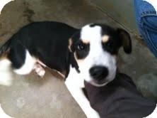 Hound (Unknown Type)/Terrier (Unknown Type, Medium) Mix Puppy for adoption in Athens, Georgia - Duncan