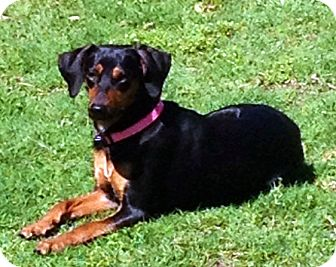 Dachshund/Miniature Pinscher Mix Dog for adoption in Glenpool, Oklahoma - Princess