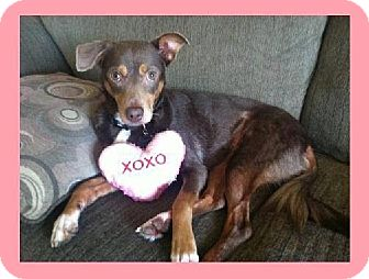 Miniature Pinscher/Border Collie Mix Dog for adoption in Whittier, California - London