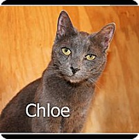 Russian Blue Cat for adoption in Wichita Falls, Texas - Chloe