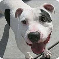 Adopt A Pet :: Rocket - Canoga Park, CA