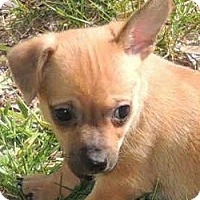 Adopt A Pet :: Tiny Pixie - La Habra Heights, CA