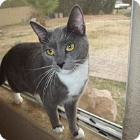 Domestic Shorthair Cat for adoption in Mesa, Arizona - Steely