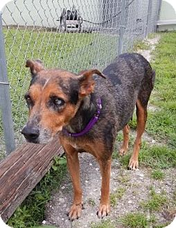 Catahoula Leopard Dog Mix Dog for adoption in Fort Myers, Florida - Dolly