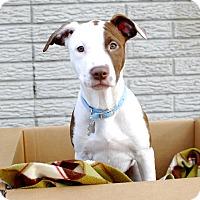 Adopt A Pet :: Tawny - Detroit, MI