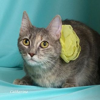 Domestic Shorthair Cat for adoption in Kerrville, Texas - Catherine