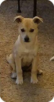 Labrador Retriever/Shepherd (Unknown Type) Mix Puppy for adoption in Columbus, Ohio - Sandy