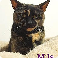 Domestic Shorthair Cat for adoption in Livonia, Michigan - Mila - CP [TKN]