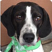 Adopt A Pet :: Pongo - Fairfax, VA