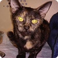 Adopt A Pet :: Shadow - Franklin, NH