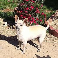 Chihuahua Dog for adoption in Fullerton, California - Giovanni
