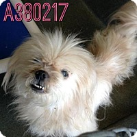 Adopt A Pet :: A380217 - San Antonio, TX
