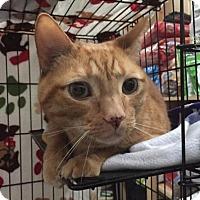 Adopt A Pet :: Tiger - Centerville, GA