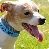 Chihuahua Dog for adoption in richmond, Virginia - TOBY