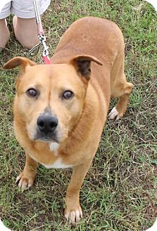 Chow Chow/Labrador Retriever Mix Dog for adoption in Jacksonville, Texas - DeeOgee