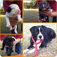 Adopt A Pet :: Georgia - Comanche, TX