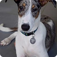 Adopt A Pet :: *Cooper - PENDING - Westport, CT