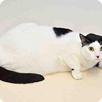 Domestic Mediumhair Cat for adoption in Sanford, Florida - SKULLY
