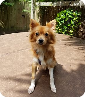 Pomeranian Dog for adoption in conroe, Texas - Foxfire