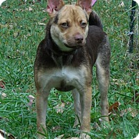 Australian Shepherd Mix Dog for adoption in Fairmont, West Virginia - Kimble