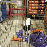 Adopt A Pet :: Shiner - Brownsville, TX
