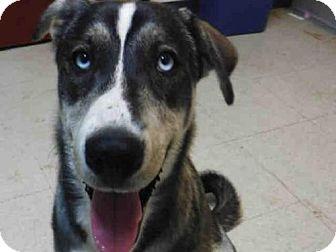 German Shepherd Dog Mix Dog for adoption in Ukiah, California - BONNIE