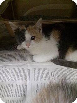 Domestic Shorthair Kitten for adoption in Northfield, Ohio - Dana