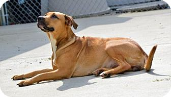 Shepherd (Unknown Type)/Retriever (Unknown Type) Mix Dog for adoption in Lincolnton, North Carolina - Molly
