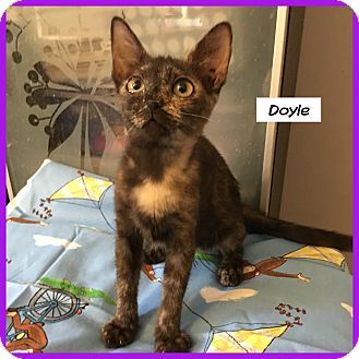 Domestic Shorthair Cat for adoption in Miami, Florida - Doyle