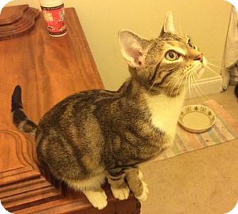Domestic Shorthair Kitten for adoption in Smithfield, North Carolina - Ridley