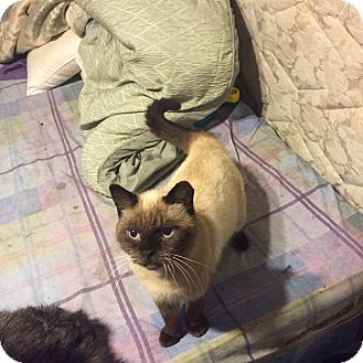 Siamese Cats For Adoption In Mn