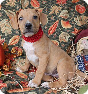 Labrador Retriever Mix Puppy for adoption in Buhl, Alabama - Ziggy - PENDING